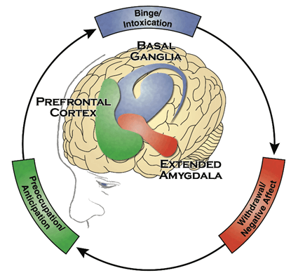 The cycle of substance use on the brain